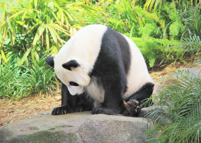 panda-jungle